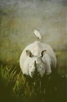 Indian White Rhino and Egret